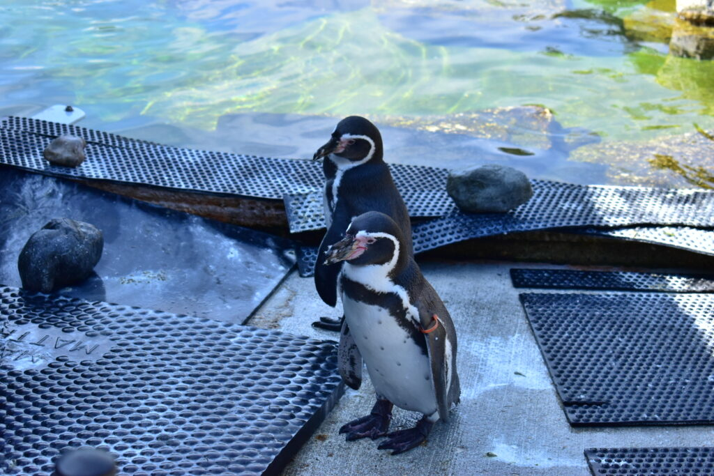 Penguins Marwell Zoo