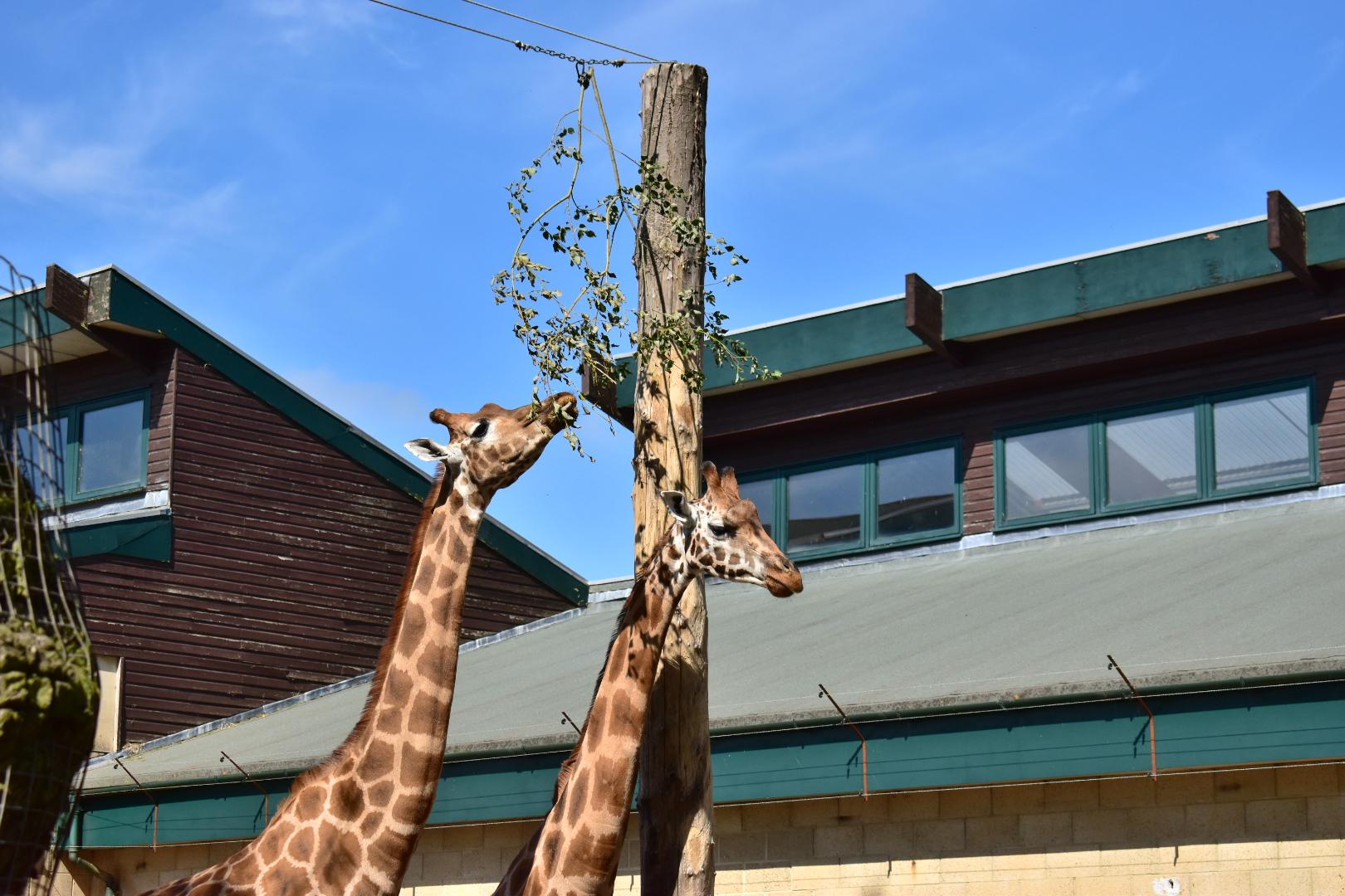 Giraffes Marwell Zoo