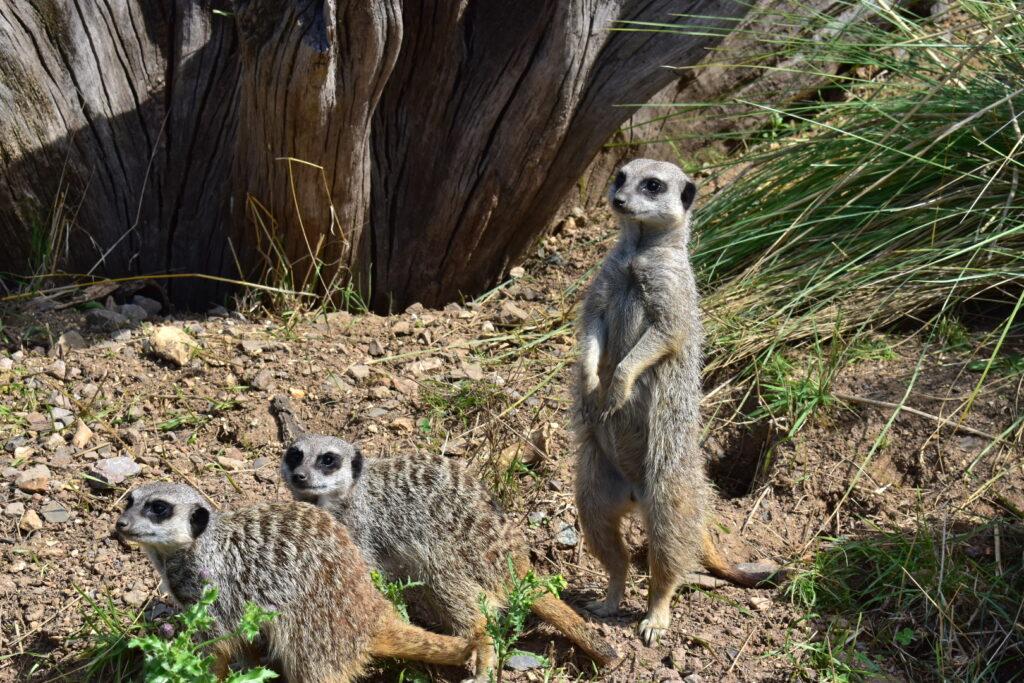 meerkats Marwell Zoo